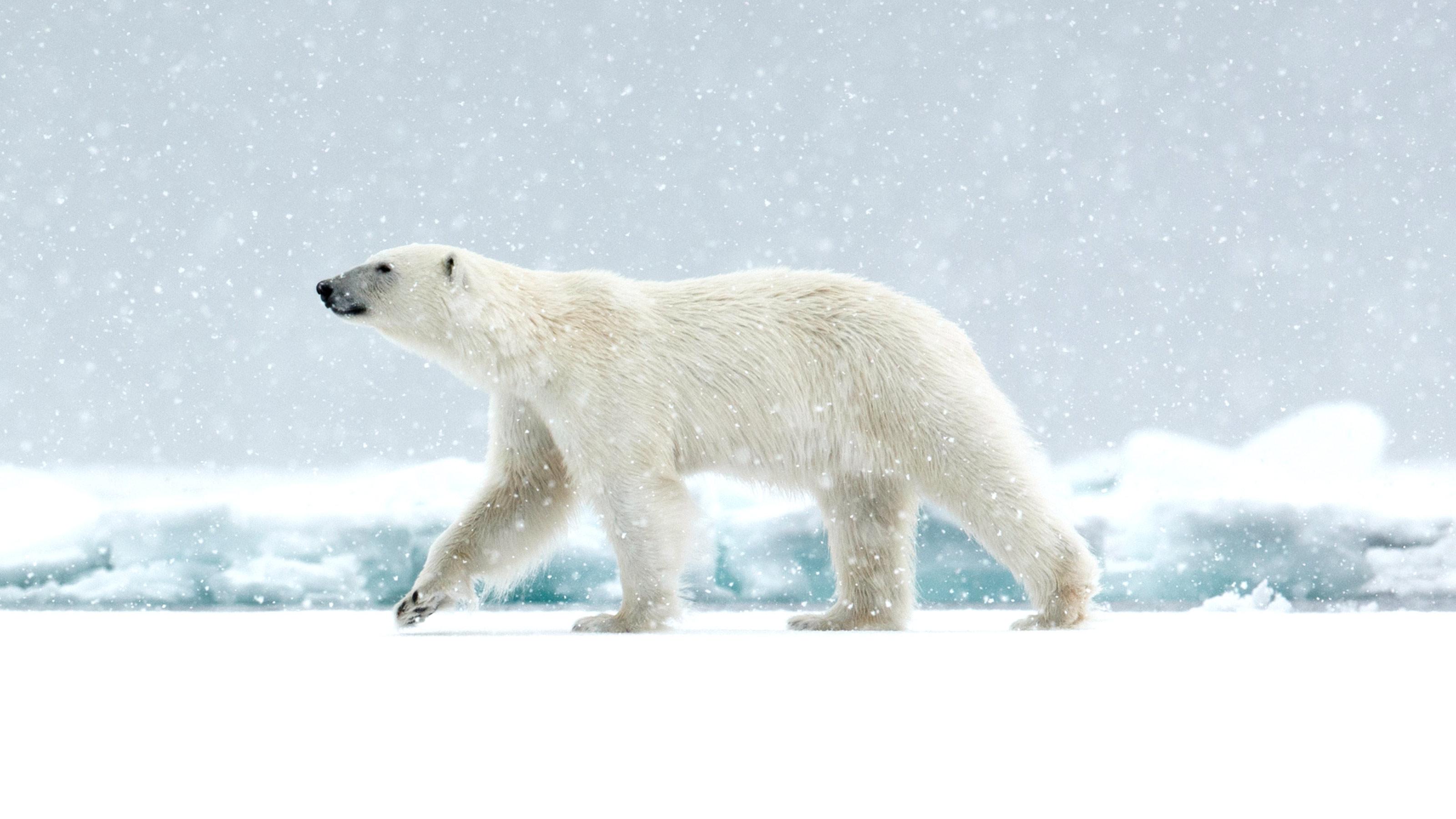 雲講堂-【動物英語大驚奇】游泳高手─北極熊